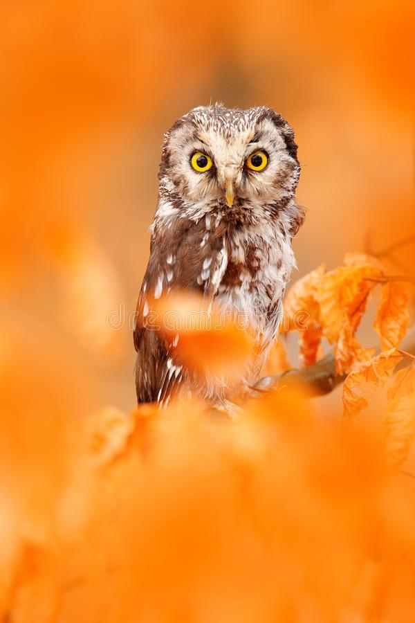 Owl hidden in the orange leaves. Boreal owl with big yellow eyes in the autumn forest in central Europe. Detail portrait of bird. In the nature habitat, Germany stock photos