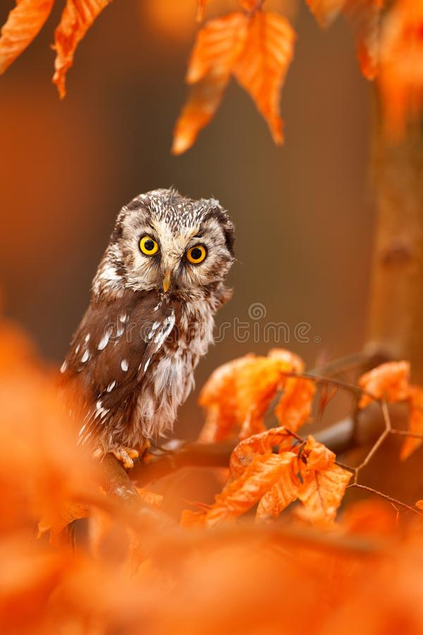 Owl hidden in the orange leaves. Boreal owl with big yellow eyes in the autumn forest in central Europe. Detail portrait of bird. In the nature habitat, Germany stock photography