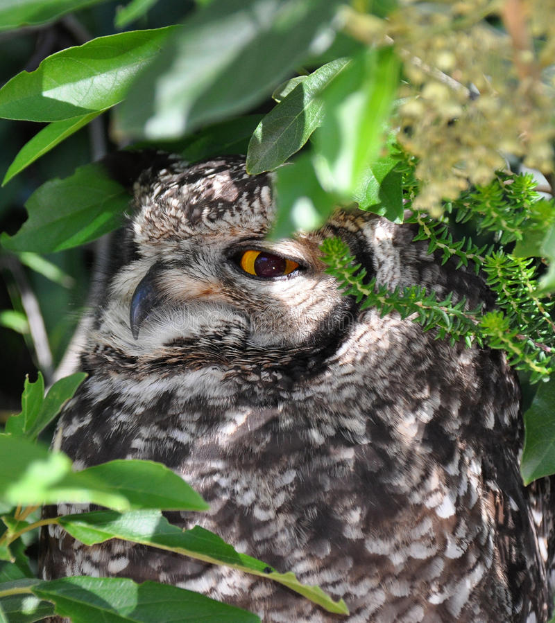 Owl hiding in the bushes