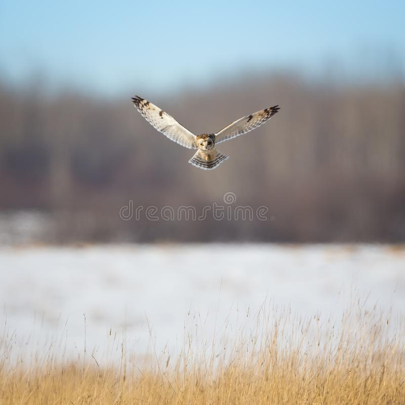 Owl Hovering Over Grass photos stock
