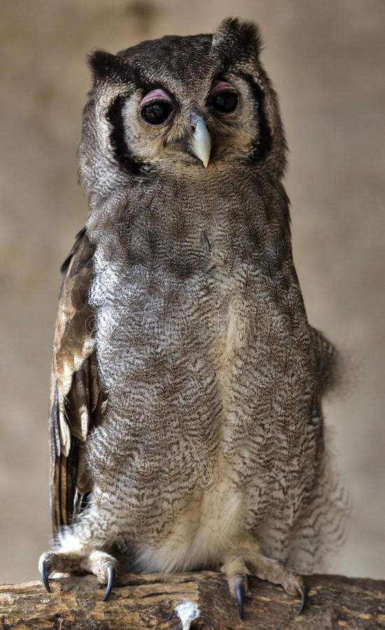 OWL. I do not know the name of the bird, but she stood there and posed for me stock photography