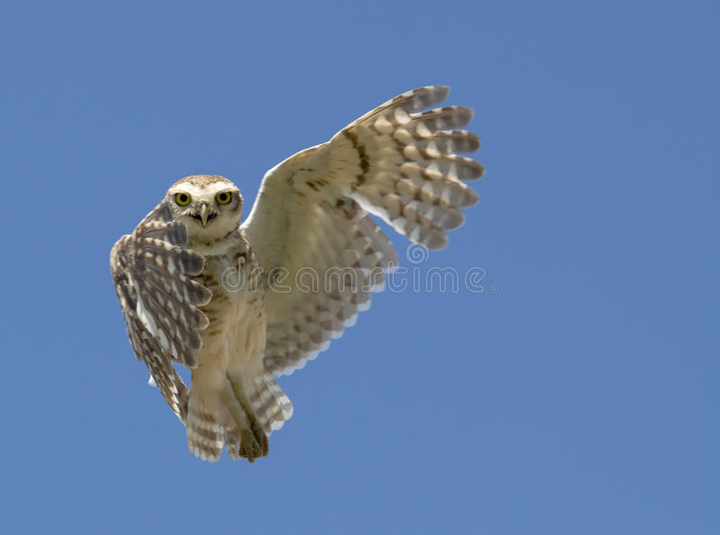 Owl indicating right stock photography