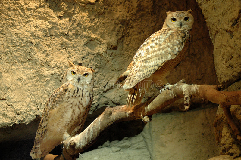 Owl in kuwait stock image