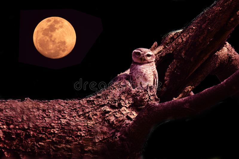 Owl with large eyes sitting on tree branch. Against a full moon and night sky stock photos
