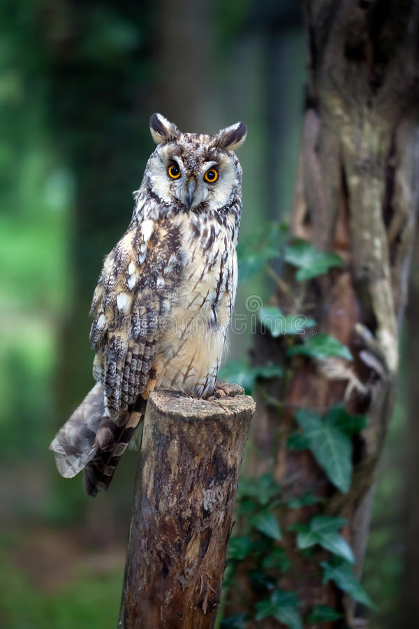 Download Owl stock image. Image of avian, wood, feathers, nocturnal - 32932247