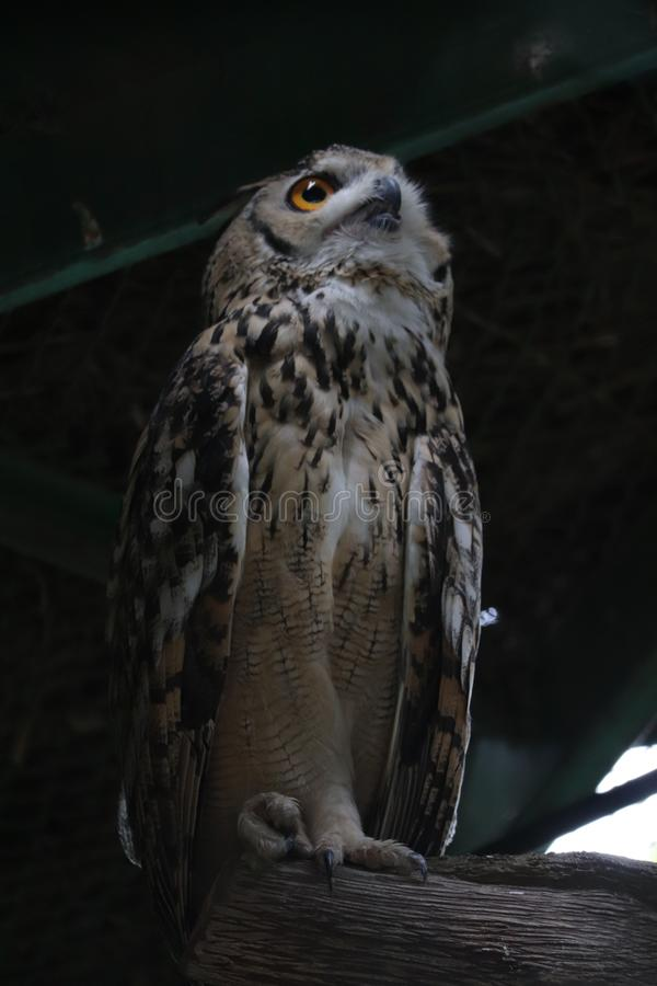 Owl In Low Light arkivbild