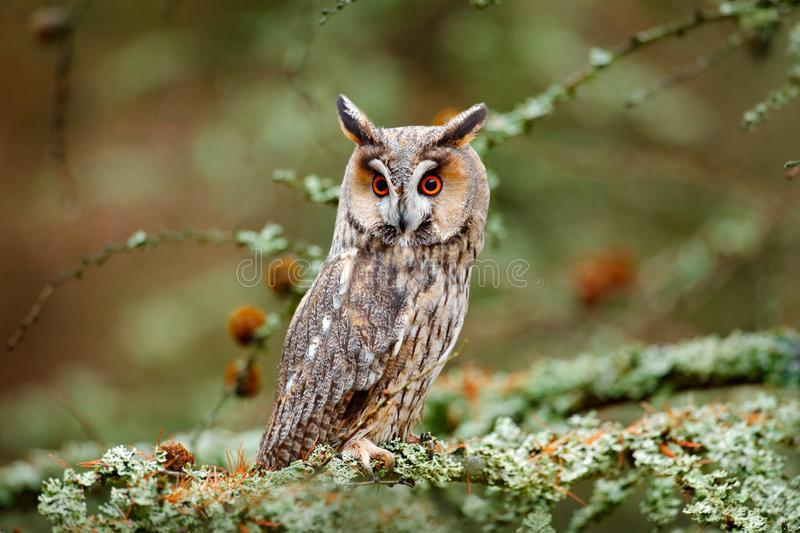 Owl in nature wood nature habitat. Bird sitting on the tree, long ears. Owl hunting. Green lichen Hypogymnia physodes. Long-eared royalty free stock image