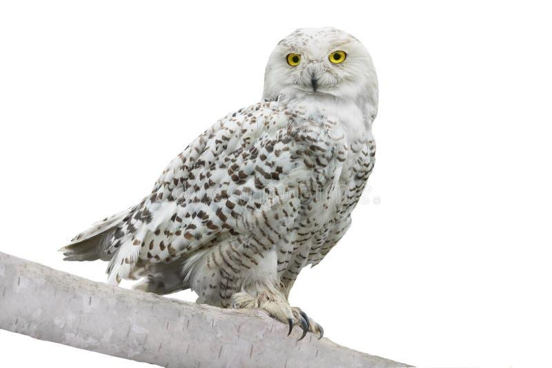 Owl Nyctea scandiaca arkivbilder