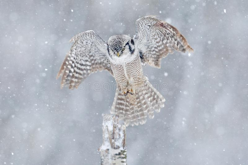 Owl with open wings from Finland. Nature of north Europe. Snow winter scene with flying owl. Hawk Owl in fly with snowflake during stock images