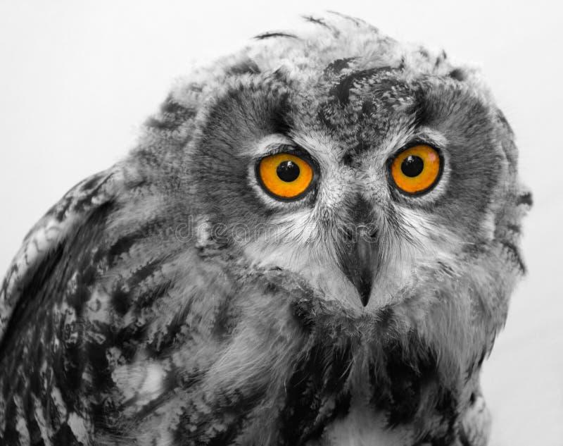 Owl with orange eyes stock images