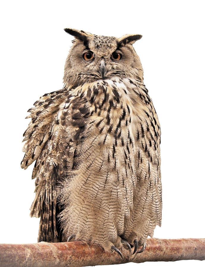 Owl på en förgrena sig arkivfoton