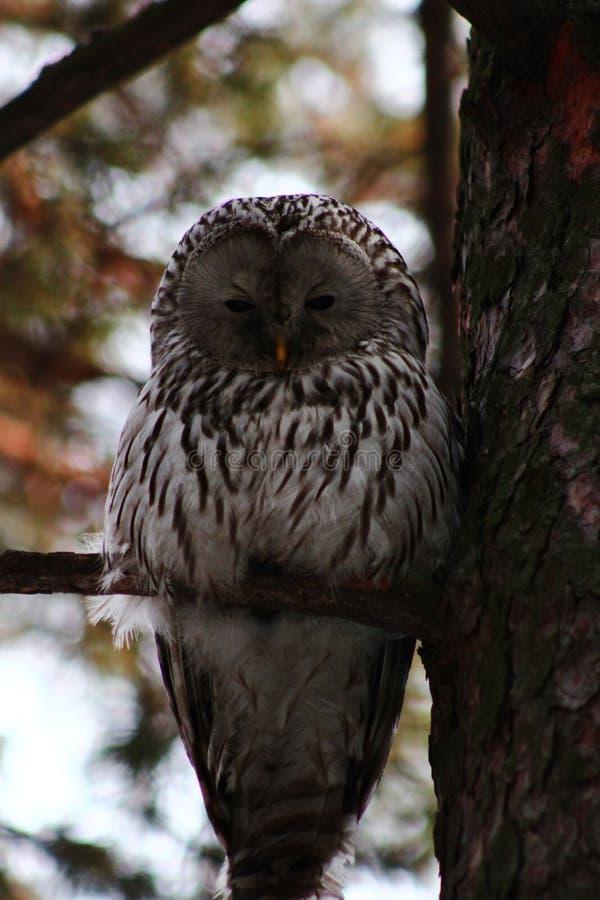 Owl på en treefilial fotografering för bildbyråer