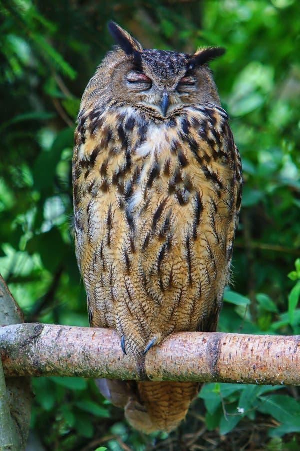 Owl p? en f?rgrena sig arkivbilder