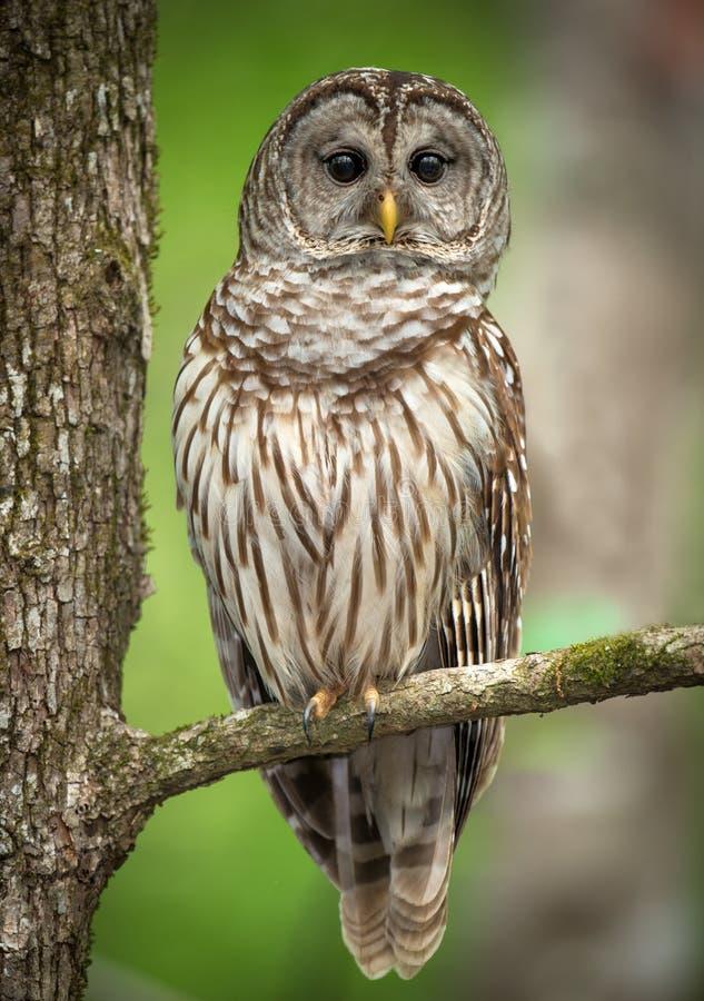 Owl Perched barrado em um ramo de árvore fotografia de stock