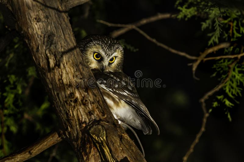 Owl Perched boreale in un albero fotografia stock libera da diritti