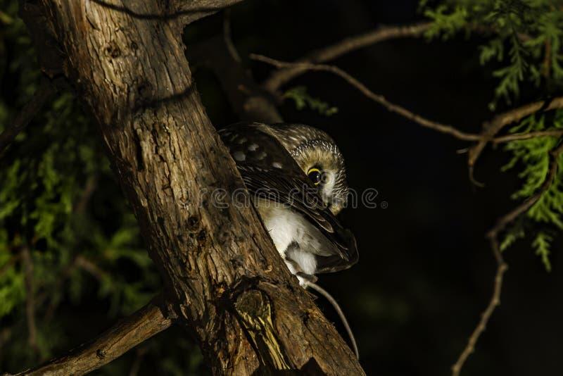 Owl Perched boreale in un albero immagini stock libere da diritti