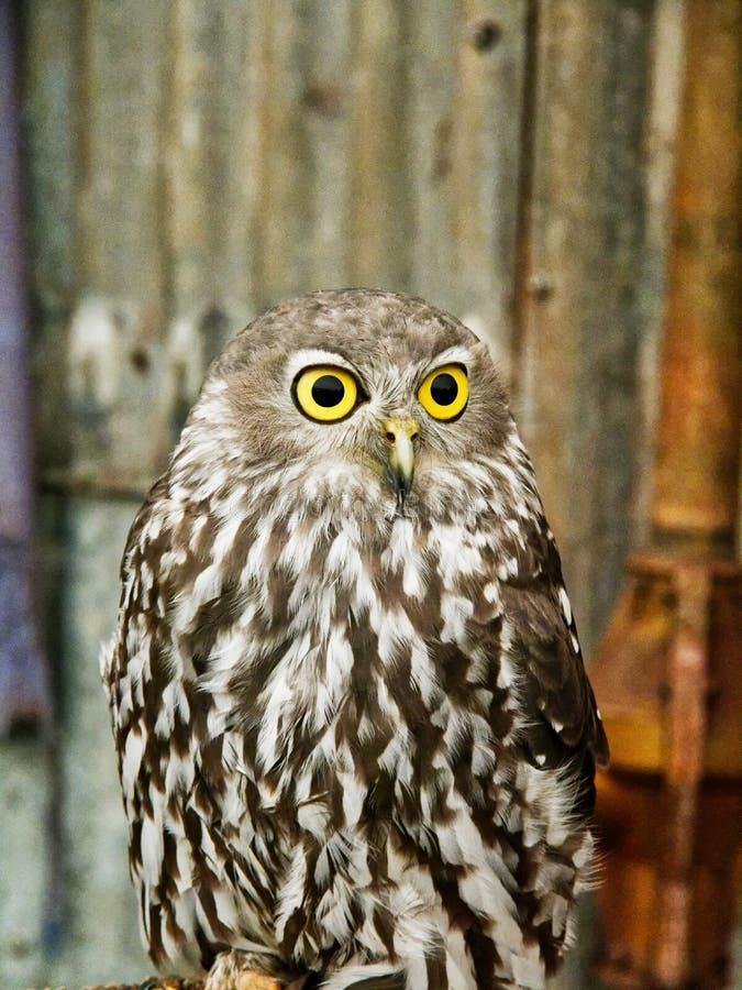 Owl Perched de descortezamiento australiano en una reserva de la fauna imagen de archivo libre de regalías