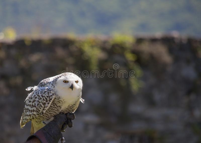 Owl owl perched on the glove of his trainer royalty free stock photography