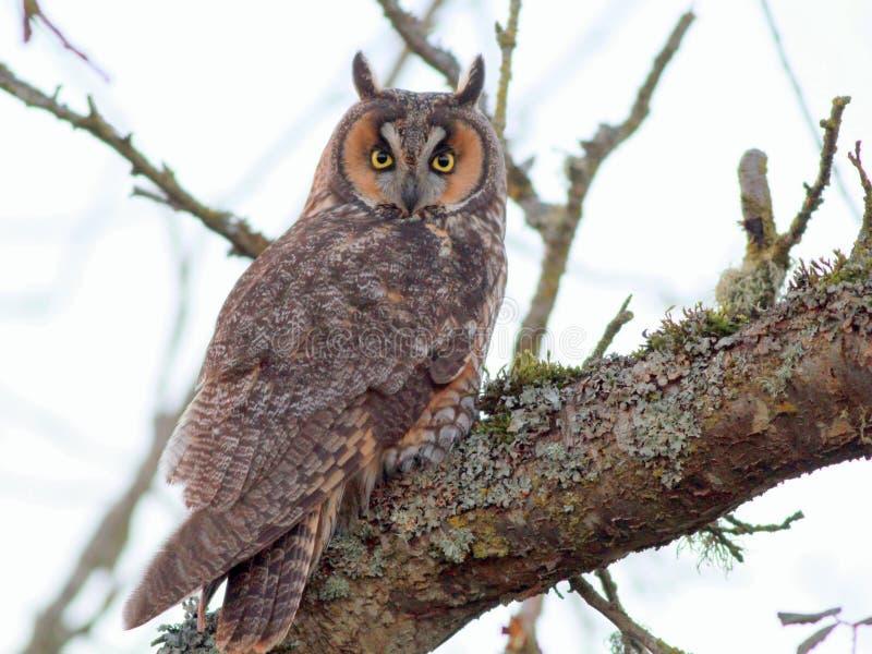 Owl Perched A lungo eared su un ramo fotografia stock