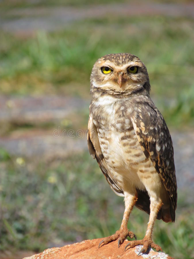 Download Owl perched staring. stock photo. Image of isolated, eagle - 24550006