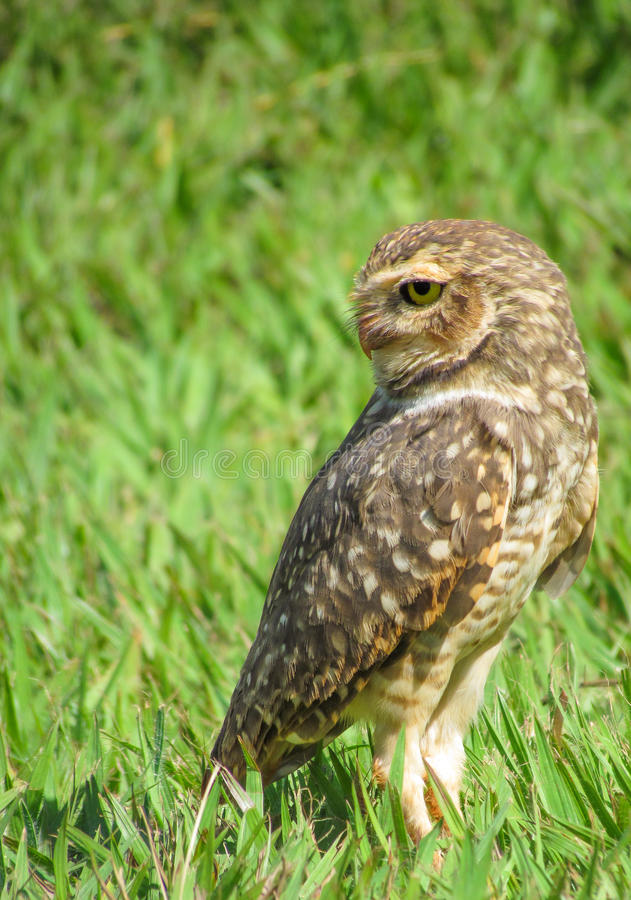 Owl Perched To Stare Back. Stock Photography