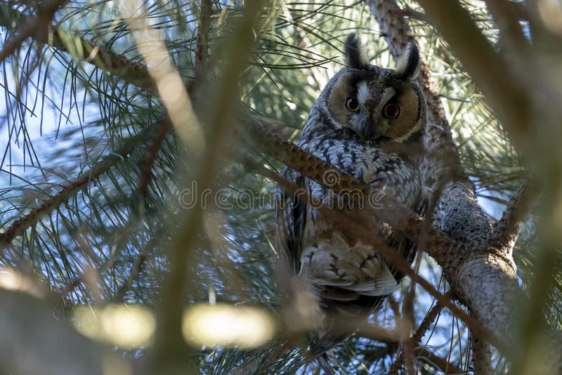 Owl in a pine tree stock photo