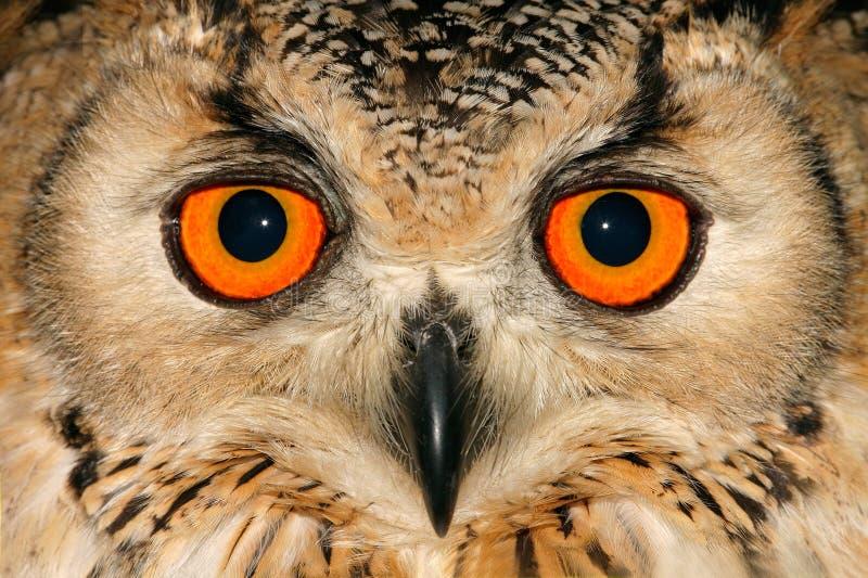Owl portrait. Close-up portrait of an owl with large orange eyes
