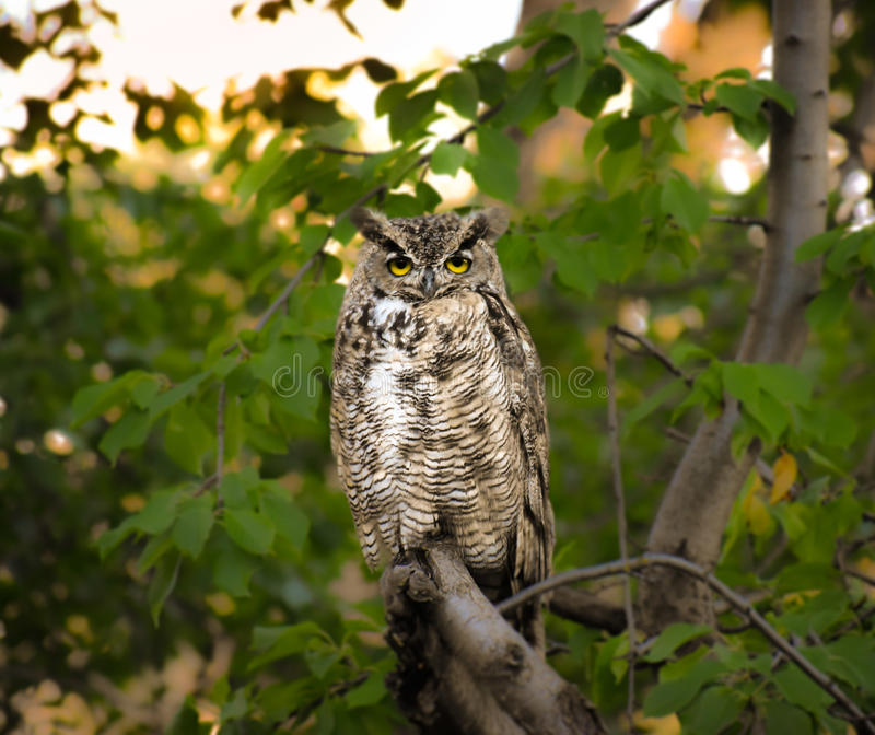 Owl portrait. Colorado horned owl sits posed for a portrait stock photography