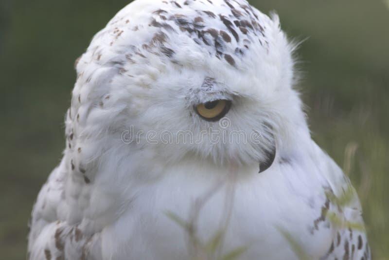 Owl Portrait nevado imagem de stock