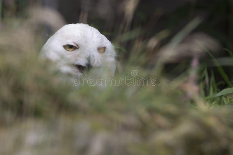 Owl Portrait nevado foto de stock royalty free