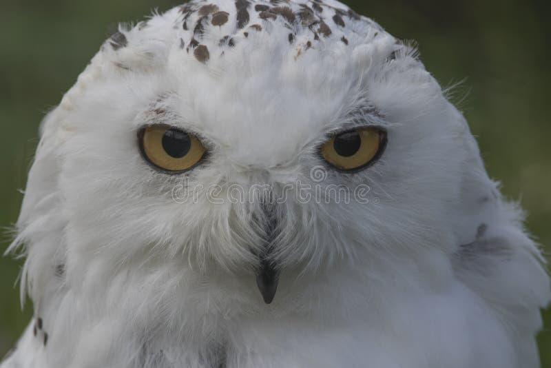 Owl Portrait nevado imagem de stock royalty free