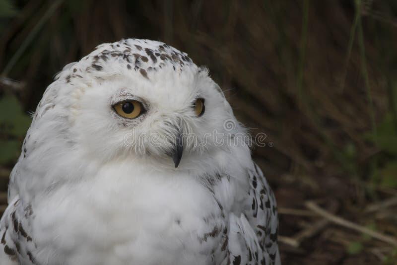 Owl Portrait nevado fotos de stock