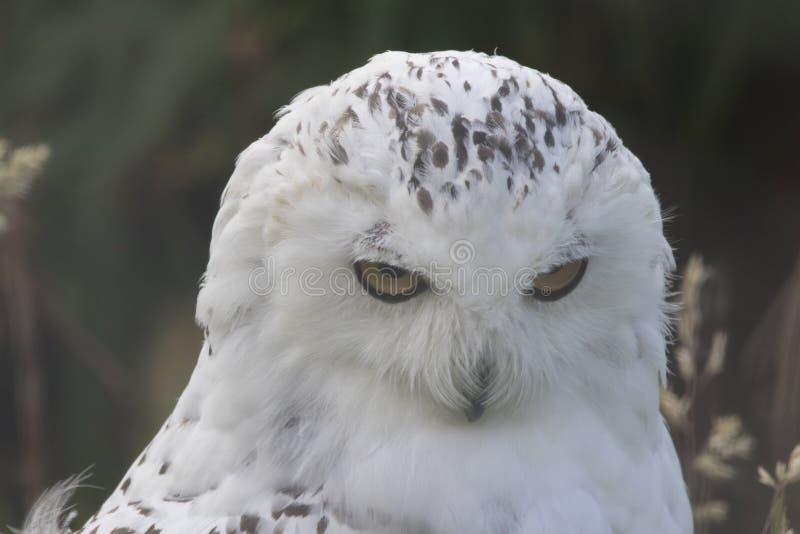 Owl Portrait nevado foto de stock