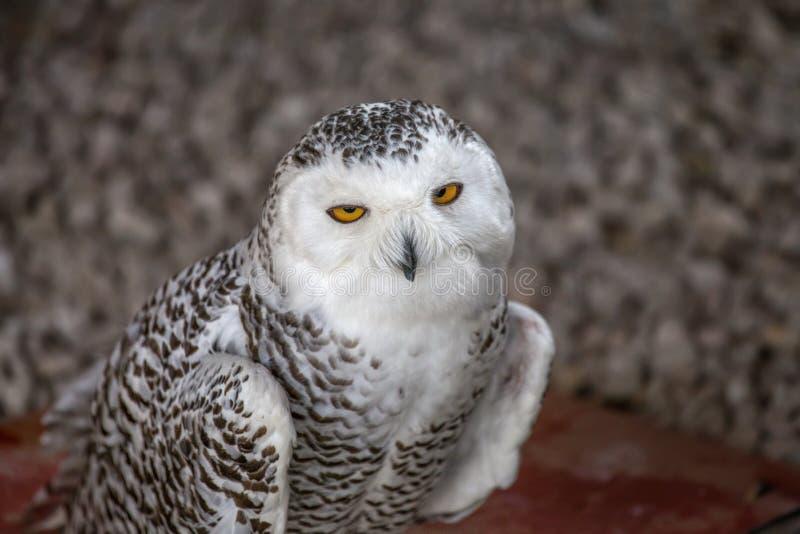 Owl Portrait nevado fotografia de stock