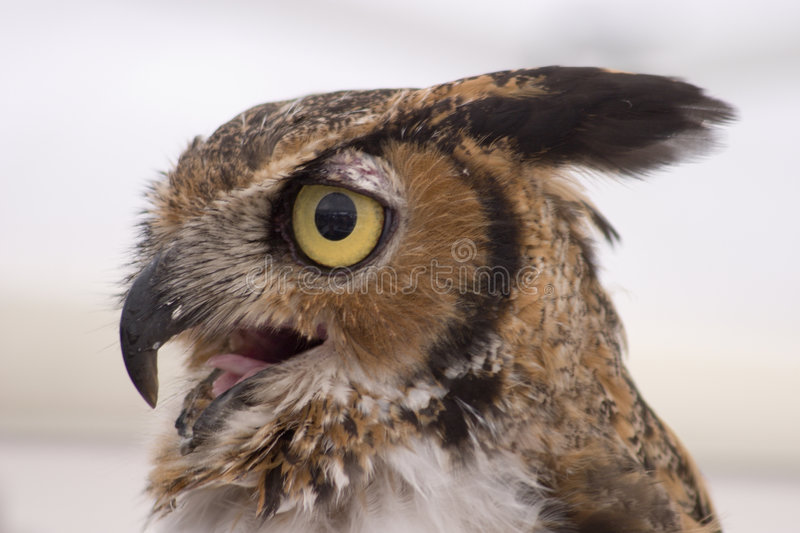 Download Owl Profile stock photo. Image of hoot, nature, portrait - 462724
