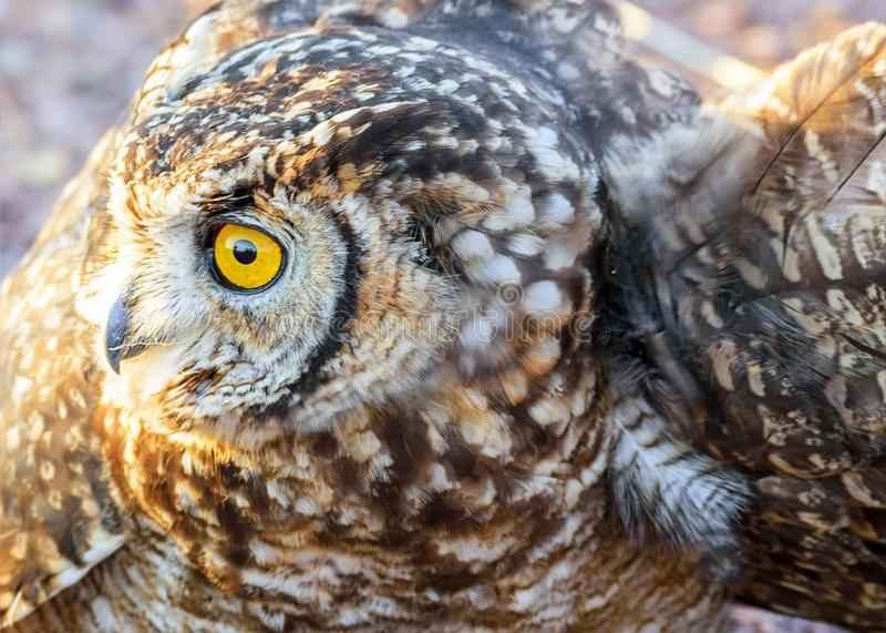 Owl Profile Namibia immagini stock libere da diritti