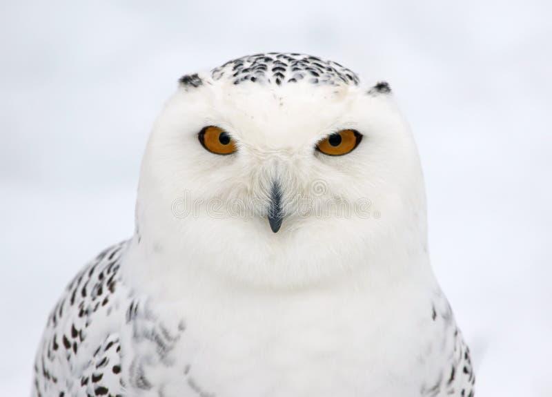Owl Profile nevado imagens de stock
