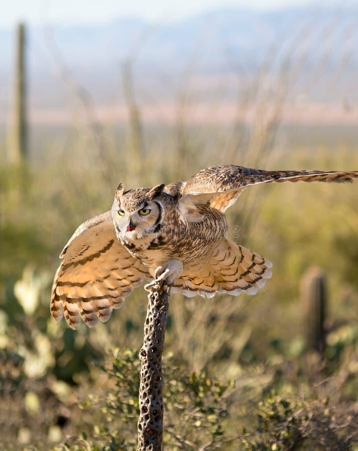 Owl Ready Grande-de cuernos para tomar vuelo foto de archivo