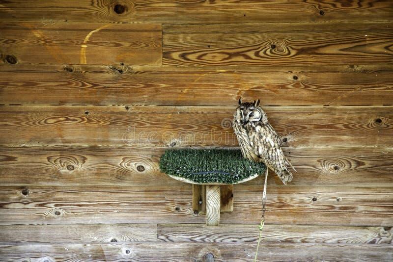 Owl real falconry. Owl falconry, wild mammals and birds, wildlife, nature, portrait, brown, animal, predator, raptor, eye, feather, beak, hunter, prey, face royalty free stock photo