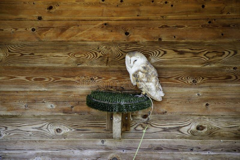 Owl real falconry. Owl falconry, wild mammals and birds, wildlife, nature, portrait, brown, animal, predator, raptor, eye, feather, beak, hunter, prey, face stock image