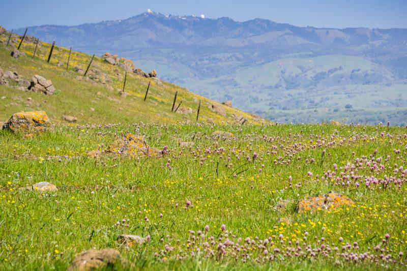 Owl's clover wildflowers blooming on serpentine soil in south San Francisco bay, mount Hamilton in the background, San Jose,. California stock images