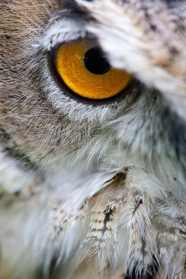 Download Owl's Eye Close Staring Into Camera Stock Photography - Image: 9807122