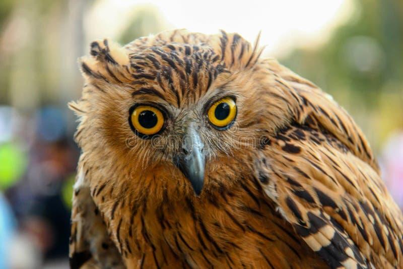 The owl`s sharp gaze royalty free stock image