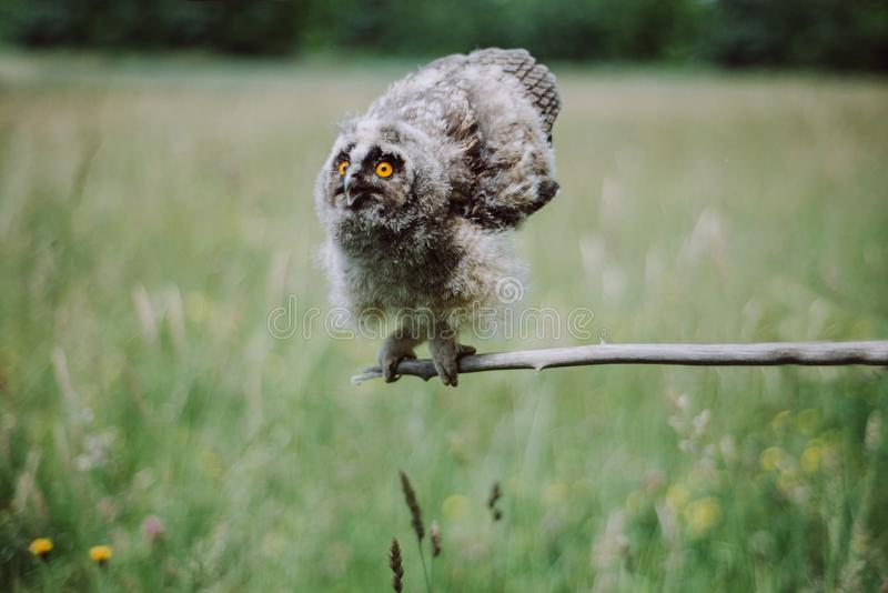 The owl sits on a branch with strained wings against a background of green grass. Owlet royalty free stock photo