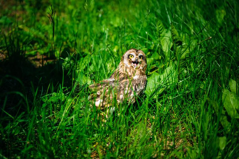 Owl sits in the green grass on sunny day outdoors. Little owl with open beak, close-up.  stock photo