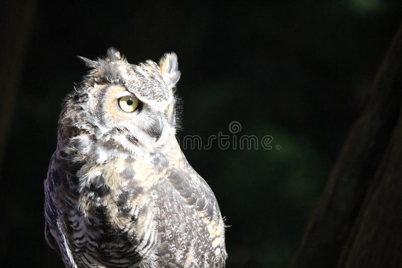 Night Watcher. An owl sits perched on his master`s arm, looking in a vast sea of people. Its large, round eyes scan the area. Tourists visiting the Capilano royalty free stock image