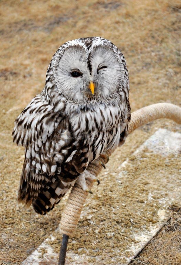 An owl sitting on a pole. A big gray owl sitting on a pole royalty free stock photos