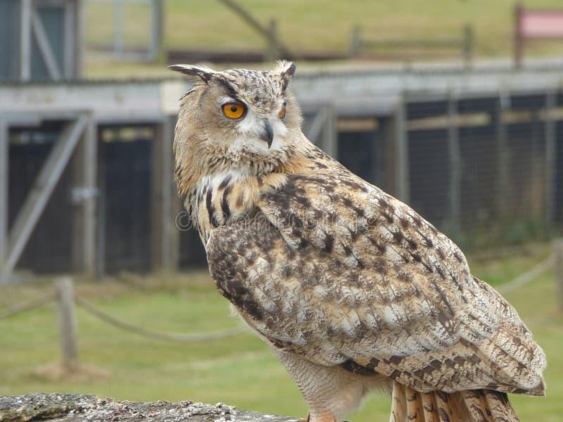 Owl the solitary bird royalty free stock photo