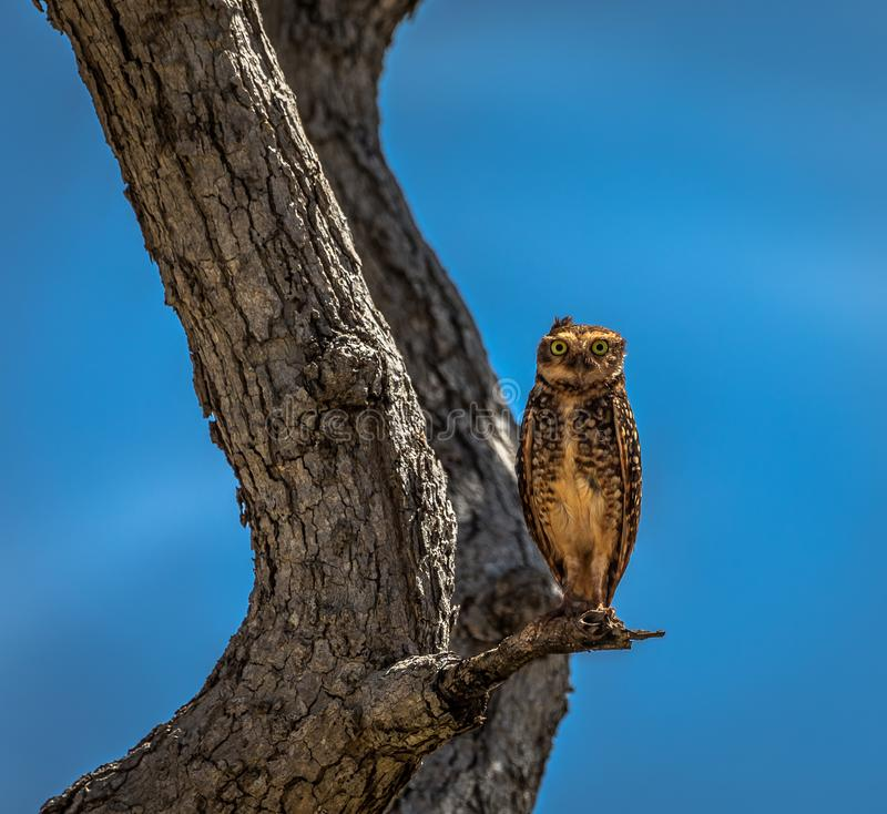 Owl Stand on Branch of Tree royalty free stock images