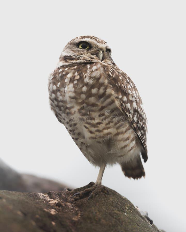 Owl Standing Burrowing ocidental em uma rocha - retrato no fundo branco imagem de stock